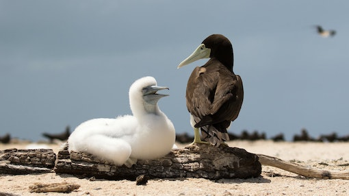 Brown Booby and Chick