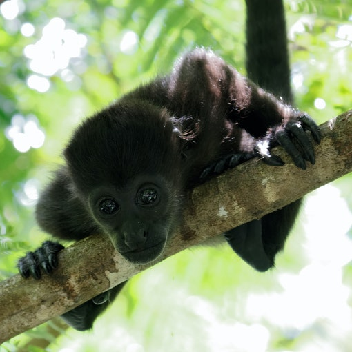Infant Mantled Howler Monkey
