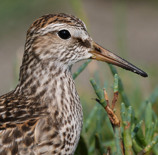 Pectoral Sandpiper close-up