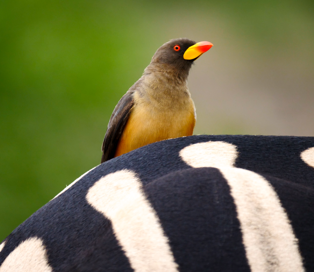 Yellow-billed Oxpecker on Zebra