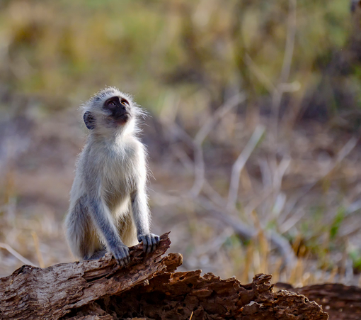 Vervet Monkey at Mapungubwe