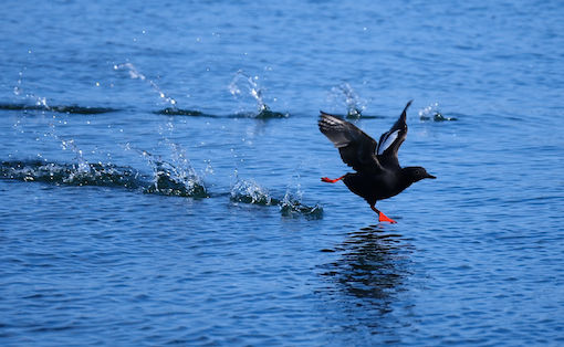 Pigeon Guillemot Take-off