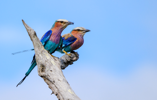 Lilac-breasted Rollers in Kruger National Park