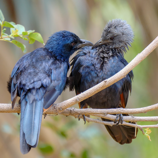 Red-winged Starling Parent with Juvenile
