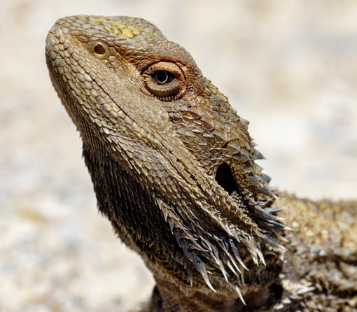 Eastern Bearded Dragon at Capertee Valley