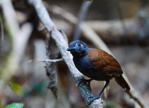 Chestnut-backed Antbird (Poliocrania exsul)