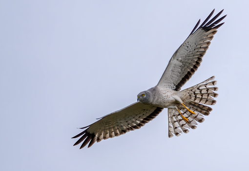 Male Northern Harrier flyby