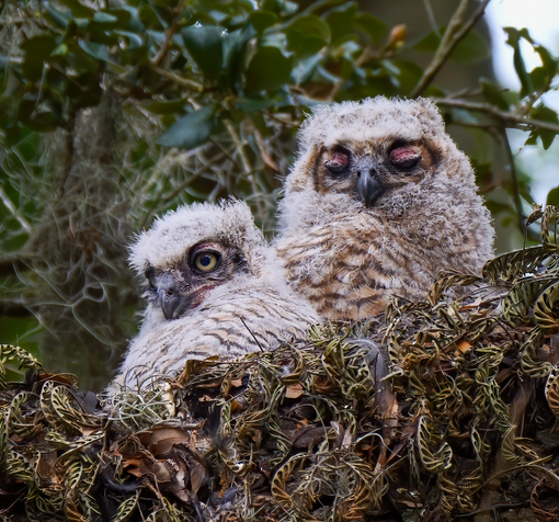 Great Horned Owlets at Brazos Bend
