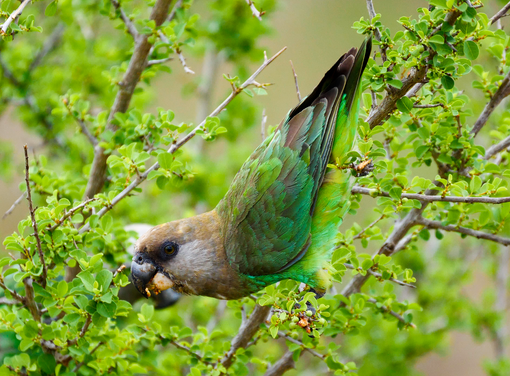 Brown-headed Parrot