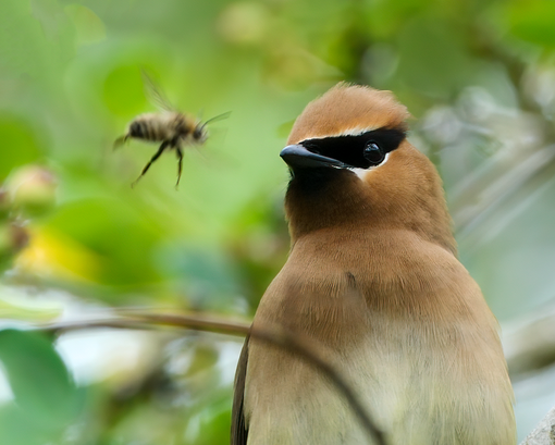 Cedar Waxwing checking out a bee