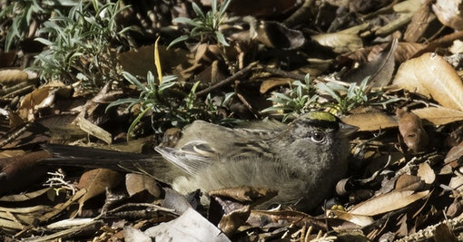 Sunbathing Golden-Crowned Sparrow