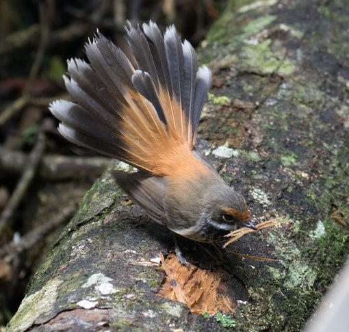 Rufous Fantail Collecting Nesting Material