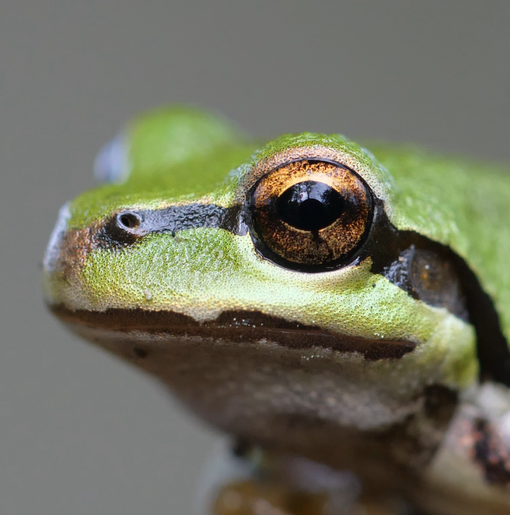 Pacific Tree Frog Close-up