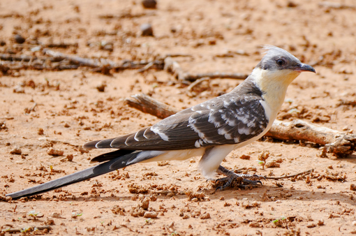Greater Spotted Cuckoo