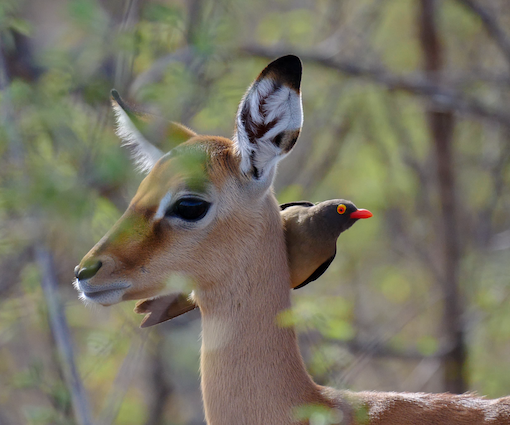 Red-billed Oxpecker with Baby Impala