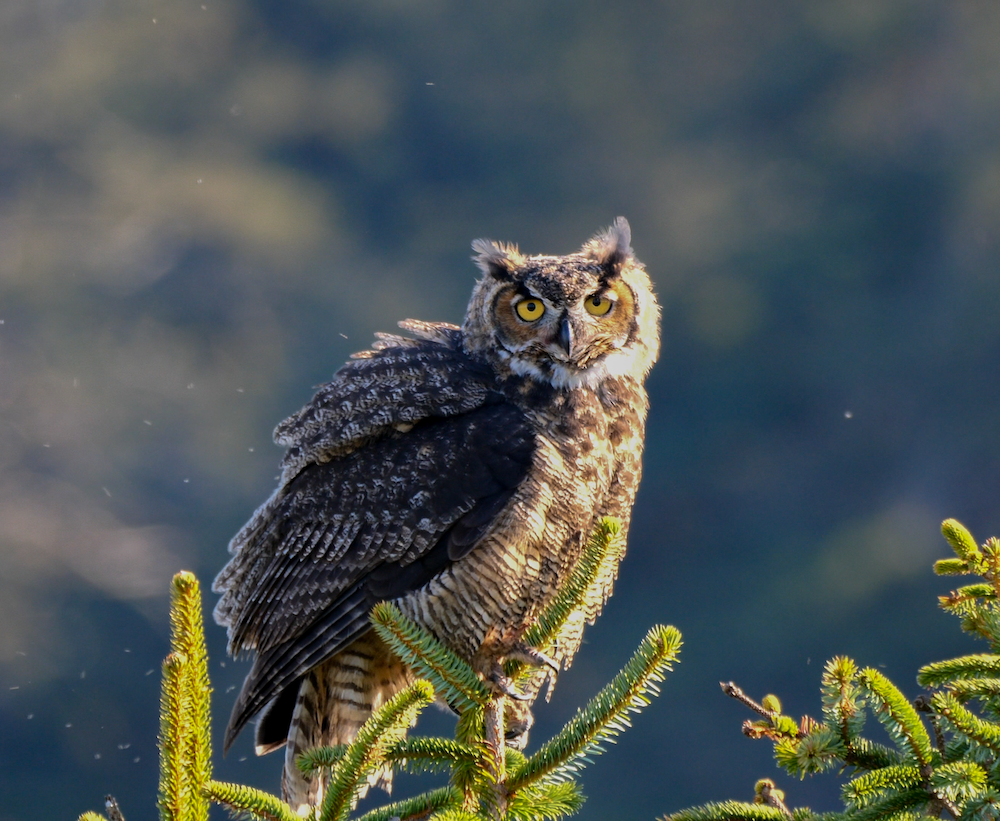 Great Horned Owl at the Beach