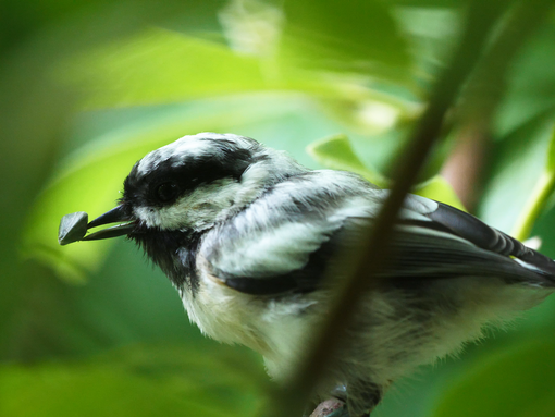 Leucistic Black-capped Chickadee