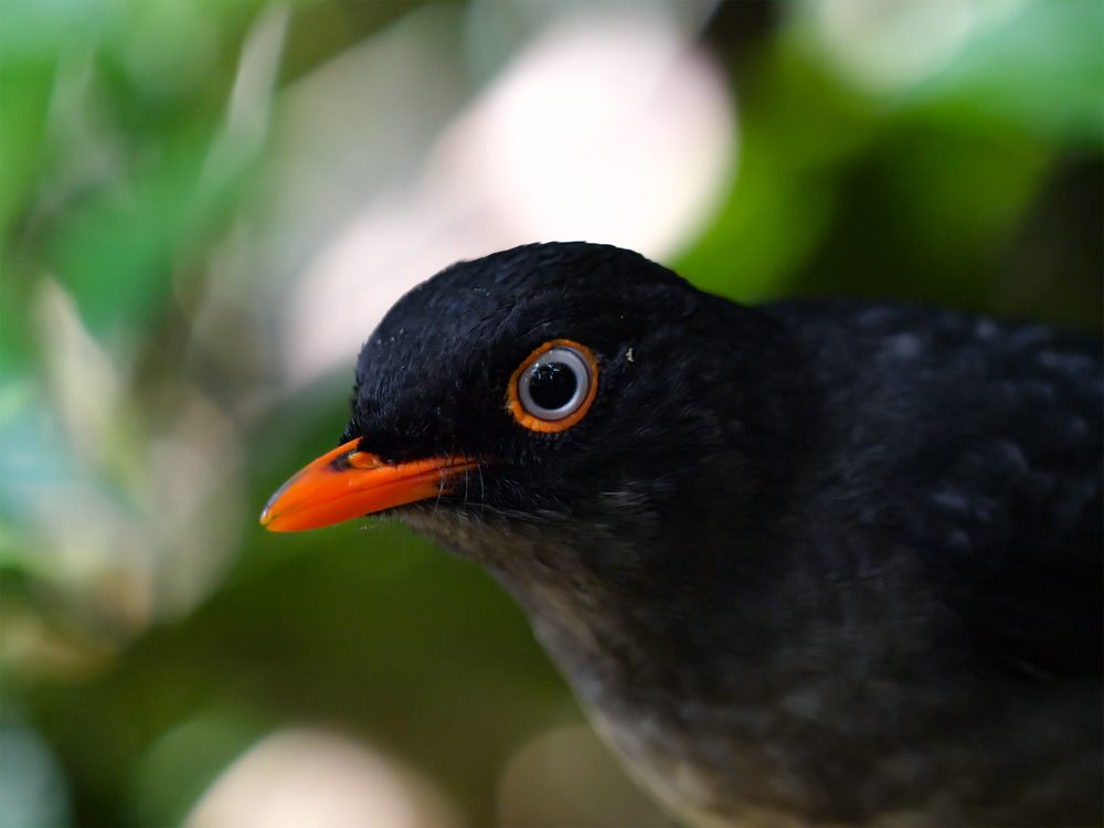 Slaty-backed Nightingale-Thrush at Monteverde