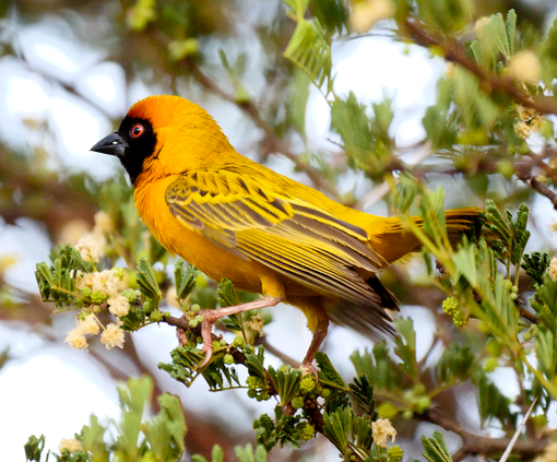 Southern Masked-Weaver