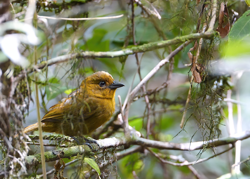 Carmiol's Tanager