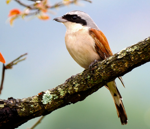 Red-backed Shrike at Punda Maria