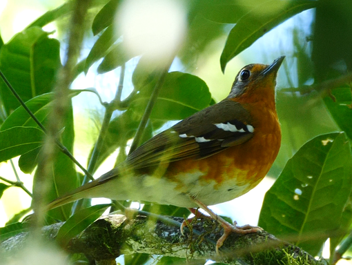 Orange Ground-Thrush at Woodbush Forest